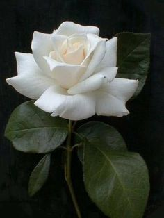 The flower girl ❤️❤️ – Write-it-up-girl Amazing Flowers, Beautiful Roses, White Flowers, Beautiful Flowers, Flower Images, Flower Photos, Parfum Rose, White Plants, Rose Pictures