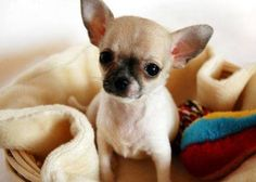 what's that wittle baby chi chi? you want me to buy you? Chihuahua Puppies, Cute Puppies, Cute Dogs, Chihuahuas, Little Dogs, Funny Animals, Cute Animals, Puppies And Kitties, Doggies