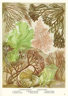 Vintage Botanical Print Antique BRITISH SEAWEED 9 by VintageInclination.