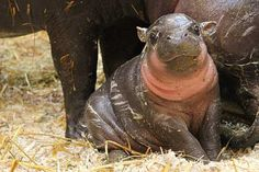Daily Dose of Cute:  At the Parken Zoo in Eskilstuna, Sweden, the birth of a rare pygmy hippopotamus is a big deal. The baby, a male named Oliver, was born Feb. 15, 2011 to mother Krakunia.  Fewer than 3000 remain in the wild.  (Still on endangered list)