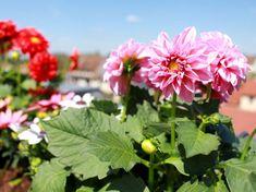 Nem lehetetlen küldetés: szárazságtűrő virágözön a balkonra