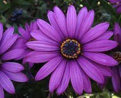 African daisies come back year after year in dark purple colors. Great for low areas and cheerful little babies!