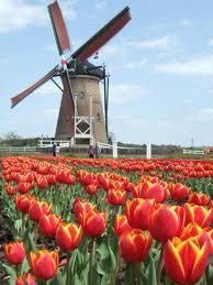 Windmill surrounded by Tulips