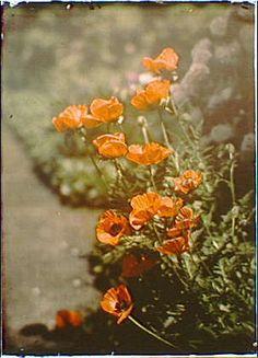 California golden poppies - http://www.loc.gov/pictures/collection/agc/item/agc1996000522/PP/