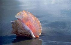 Seashell,conch,beach,ocean,Ruth Burke,photography,art, giclee print,tropical,island photography,Seaside Gallery,Caribbean,fine art print,shell,pink