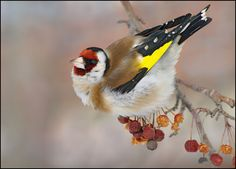 Щеглы Род птиц из семейства вьюрковых. Обитает на открытых участках и опушках. Как правило щегол не перелетная птица.