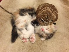 A tiny calico Scottish Fold kitten named Marimo snuggles and plays with an equally tiny baby owl named Fuku at the Hukulou Coffee House in Osaka, Japan. Cute Animals With Funny Captions, Cute Animals Puppies, Baby Puppies, Cute Baby Animals, Animals And Pets, Cutest Animals, Cute Kittens, Baby Kittens, Cute Baby Owl