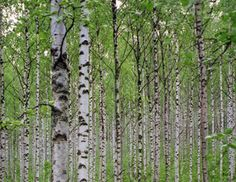 Why the Birch tree wears slashes in its bark