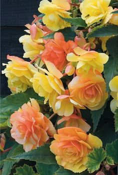 Yellow and Orange Begonia.This is a tuberous Begonia. Amazing Flowers, Beautiful Roses, My Flower, Beautiful Gardens, Beautiful Flowers, Arrangements Ikebana, Summer Bulbs, Spring Plants, Spring Flowers