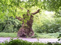 Big Belly Oak, Savernake Forest, Wiltshire, England. 1,100 years old. Legend has it the Devil appears if you dance around it anti-clockwise at midnight.
