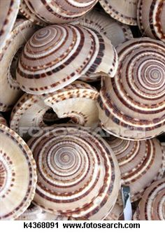 Round sea shell