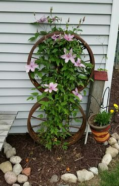 Clematis growing on old wagon wheels bolted together. Wheels staked securely into ground.