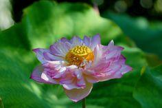 https://flic.kr/p/oxERVV | 法金剛院のハス | 20140731-DSC04531はす (蓮) /Nelumbo nucifera ハス科ハス属の水生多年草。英名 Sacred water lotus 法金剛院