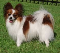 1000 images about small dog breeds on pinterest english toy terrier long haired chihuahua - Imperial westies ...