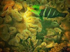 trip to Great Barrier Reef  Upolu Reef northeast of Cairns colourful coral (taken with Nikon Coolpix using DiCAPac N waterproof case)  #greatbarrierreef #reef #upolucayreef #coral #australia #queensland #cairns #holiday #pacific #pacificocean #fish #tropicalfish by will_d_b http://ift.tt/1UokkV2