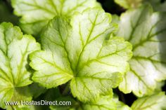 """""""Mint Julep"""" Coral Bell (Heuchera) - compact, mint green and silver! Perfect for brightening shady spots!"""