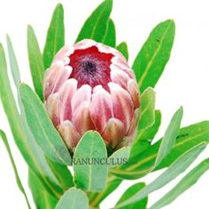 Order beautiful bulk flowers at the best prices. Our fresh Protea Flowers - Pink are gorgeous! King Protea, Ranunculus, Exotic Flowers, All The Colors, Wedding Flowers, Succulents, Plants, Pink, Beautiful