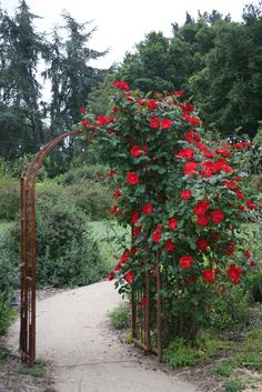 A rusted arch adorned with red climbing roses (Rosa Altissimo) forms the entrance to the garden.
