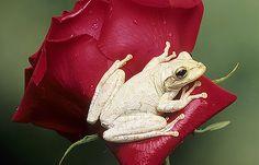 Cuban white tree frog Florida
