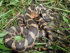 Snakes Mistaken for Copperheads | Snakes (Elaphe gloydi) are often mistaken for Copperheads. Fox Snakes ...