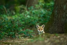 fox pup by stefanrosengarten #animals #animal #pet #pets #animales #animallovers #photooftheday #amazing #picoftheday