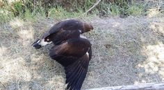 A young, extremely ill Golden Eagle rescued by an 11 y.o. boy