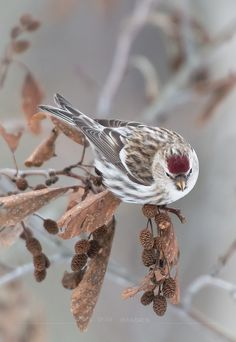 The pretty little Common Redpoll with his bright red cap, black chin & pink breast perched on a branch!