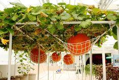 Pumpkin hammock !