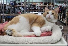 Meet our adorable snuggler, Krinkle and learn more about FIV+ cats.