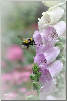 Foxgloves and bee