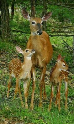 Beautiful deer family in the woods. Whitetail Deer Pictures, Deer Photos, Forest Animals, Nature Animals, Animals And Pets, Strange Animals, Wild Animals, Cute Baby Animals, Funny Animals