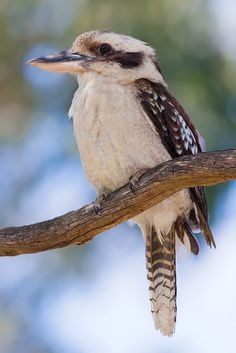 The Laughing Kookaburra is famous for its almost human-like bird call