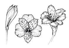 Bloom Tattoo, Lilies Drawing, Peruvian Lilies, Drawing Prompt, Flower Tattoos, Tattoo Drawings, Tattoo Designs, Tattoo Ideas, Vinyl Decals
