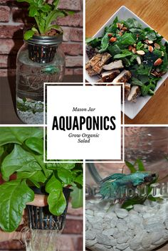 Natural aquaponics system easy backyard aquaponics,aquaponics garden back to the roots aquaponics kit india,aquaponics tilapia breeding hydroponics or aquaponics. Hydroponic Farming, Aquaponics Greenhouse, Backyard Aquaponics, Hydroponics System, Aquaponics System, Types Of Farming, Herbs Indoors, Grow Organic, Plant Growth
