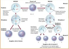 Meiosis cell division anyawee32 gb exp pinterest division aguskrisnoblogleswordpress 2012 01 mitosis and miosisg ccuart Gallery