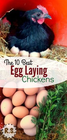 What are the best egg laying chickens? Which breeds should you consider when choosing your flock? Learn which chickens are going to lay the most and get your flock started on the right foot! - Gardening Go Best Egg Laying Chickens, Raising Backyard Chickens, Backyard Chicken Coops, Keeping Chickens, Chickens And Roosters, Diy Chicken Coop, Backyard Farming, Pet Chickens, Best Laying Hens