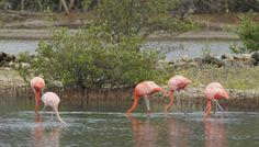 Wil je flamingo's zien op Curacao? Lees op deze website waar je moet zijn! Flamingo, Willemstad, Animals, Website, Tips, Blog, Flamingo Bird, Animales, Animaux
