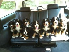bernese mountain dog puppies in the van                                                                                                                                                                                 More