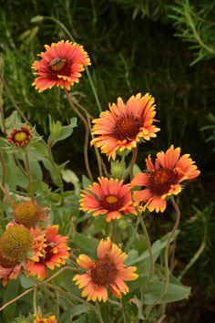 ✯ Indian Blankets :) so pretty! Butterfly Flowers, Orange Flowers, My Flower, Flower Art, Flower Power, Wild Flowers, Amazing Flowers, Beautiful Flowers, Indian Blanket Flower