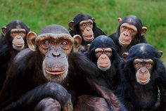 14 Funny Gifs to Chucklify Your Crazy Day - Funny Monkeys - Funny Monkeys meme - - funny monkey smiles The post 14 Funny Gifs to Chucklify Your Crazy Day appeared first on Gag Dad. Primates, Happy Monday Funny, Funny Happy, Funny Videos, Funny Gifs, Funny Humor, Monkey 3, Steve Bloom, Jokes