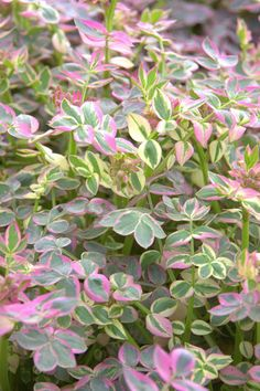 Distinctive variegated foliage and spring flowers