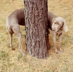 William Wegman. Bravo!