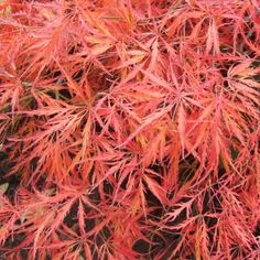 Acer Palmatum Dissectum Ever Red | Japanese Maple Trees