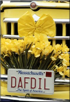 The Antique Car Parade is a Nantucket Daffodil Festival favorite. We love watching as the beautiful antique cars, adorned with cheerful daffodils pass by our Main Street shop as they make their way to the 'Sconset tailgate picnic.