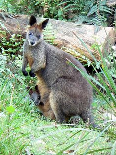 Swamp Wallaby and Joey by Monocotyledon, via Flickr