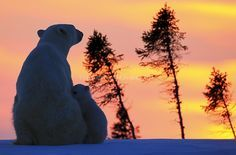"Polar Bears « David ""Baz"" Jenkins Wildlife Photography"