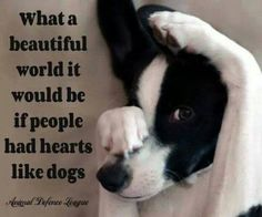 What a beautiful world it would be if people had hearts like dogs-Looks just like my grandson's border collie,Tinny, whom we are babysitting this week. Cute Puppies, Cute Dogs, Dogs And Puppies, Doggies, I Love Dogs, Puppy Love, Big Dogs, What A Beautiful World, Beautiful Dogs