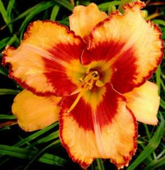 ALL FIRED UP~ Daylily Garden, Day Lilies, Gardens, Fantasy, Floral, Flowers, Nature, Plants, Naturaleza