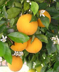 One of the most enjoyable aspects of winter for me is the pure abundance of citrus fruit in almost every form. Everywhere you look, there are trees literally … Continue reading →
