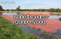 I hear there's a cranberry bog in the Appalachian Mountains in Georgia. Update: Actually, I don't think there's any in GA ... the furthest south one can be found is in Polk County, Tennessee! http://nooga.com/165144/secluded-cranberry-bog-a-rare-find-in-the-south/
